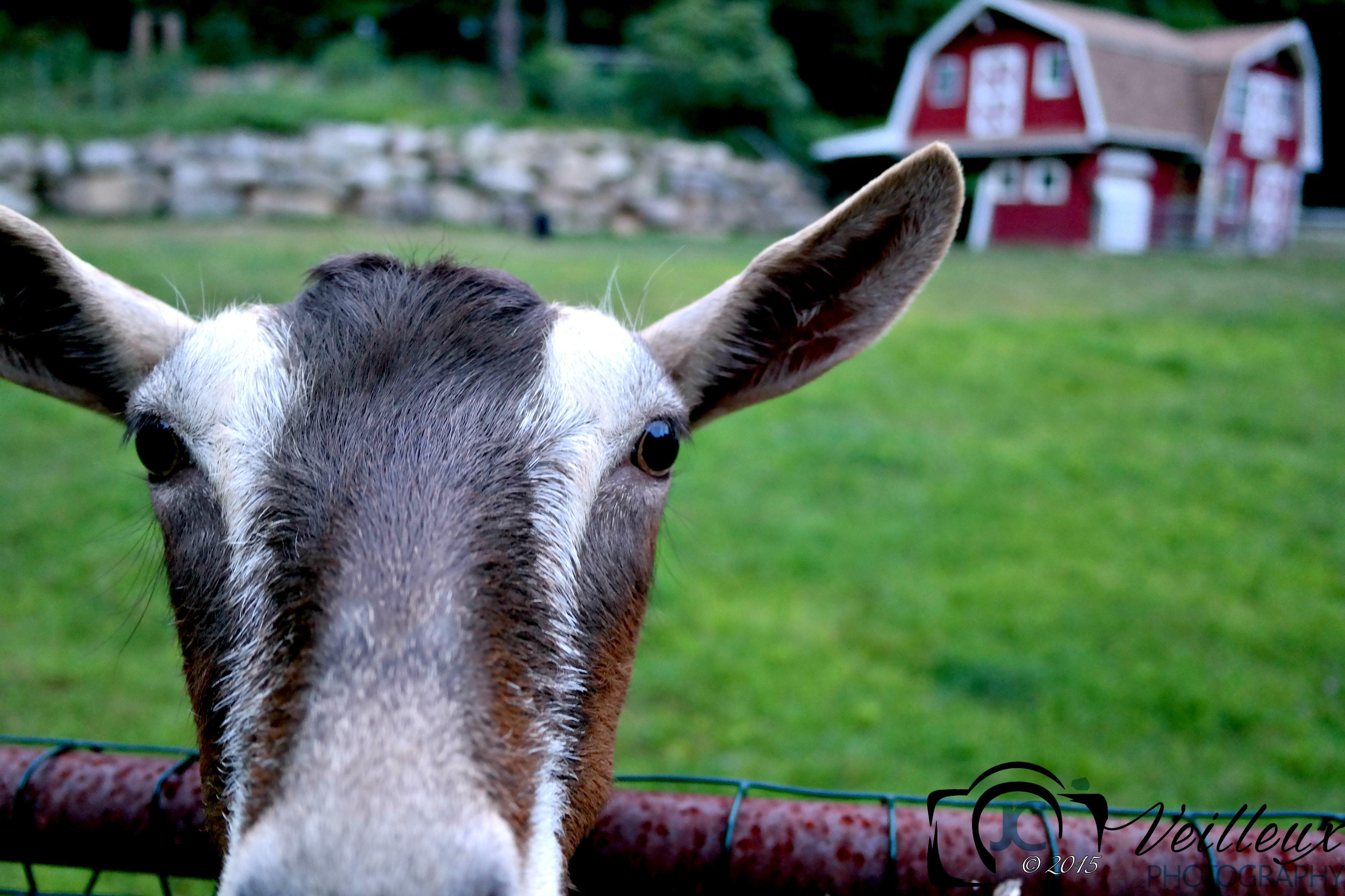 Sarah's Goat No. 1