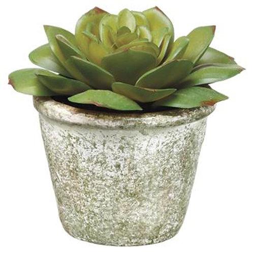 Echeveria in Cement Pot