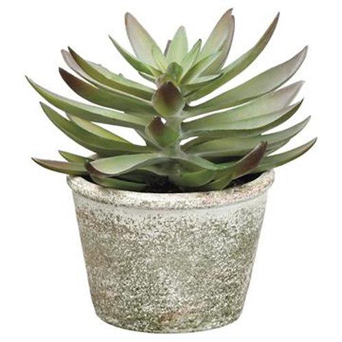 Echeveria in Paper Maché Pot