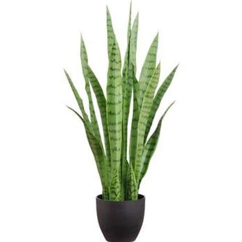 Sanseviera (Mother-In-Law's Tongue), Snake Plant