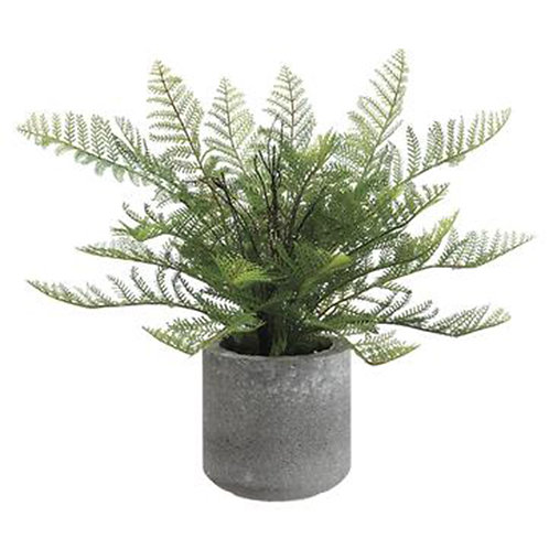 Lace Fern in Cement Pot