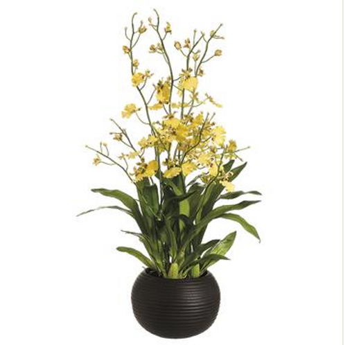 """Dancing Ladies Orchid, 38"""" tall"""