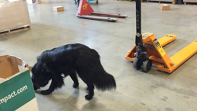 K9 Nose Work dog searches for hidden odour in a warehouse.
