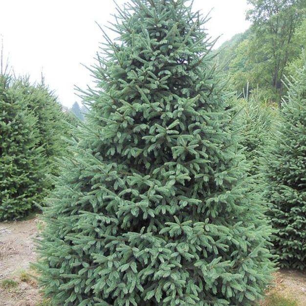 white spruce.jpg