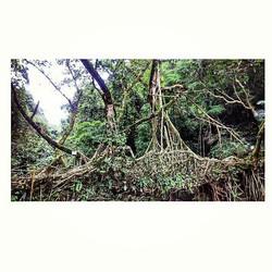 Humans creativity of Nature  Living root bridge- A must see when visiting Megahalaya