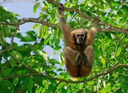 Gibbon-Wildlife-Sanctuary
