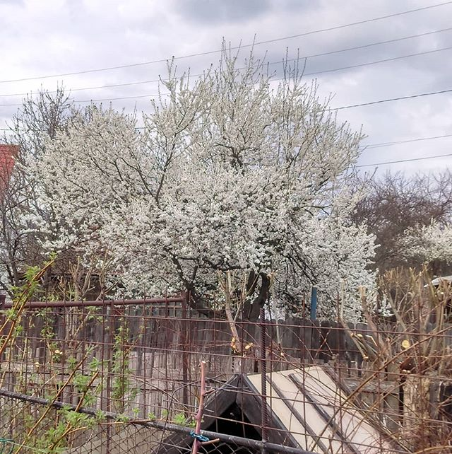 Growing in the backyard - _Cherry Wax_ - Spring time_._._._