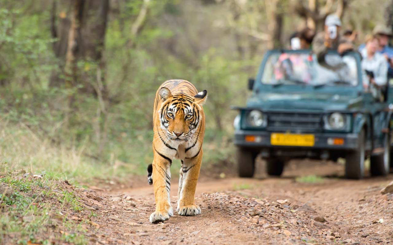 Wildlife Safari , Ranthambore