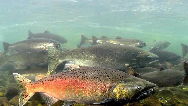 chinook-salmon-underwater (1).webp
