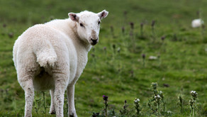 Who's Really Leading Evangelicalism, the Shepherds or the Sheep? (Hint: it's not the Shepherds)