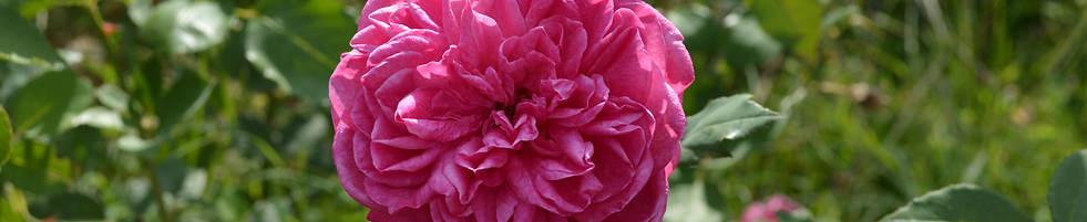 'Rose de Resch'