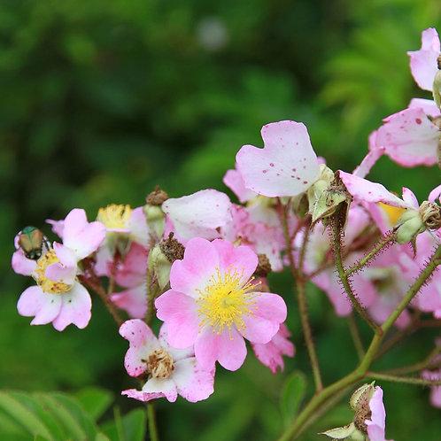 R. Multiflora ´Adenochaeta´R.P