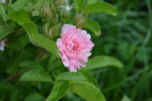 'Pink Grootendorst'