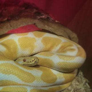 Falkor! #royalpython #ballpython #snake