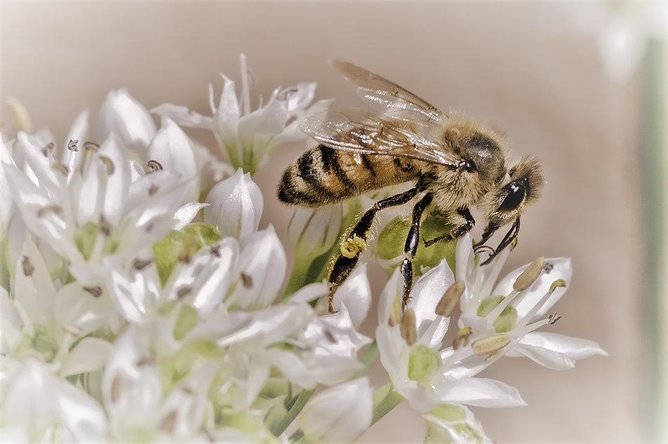 Honey Bee on Chive.jpg