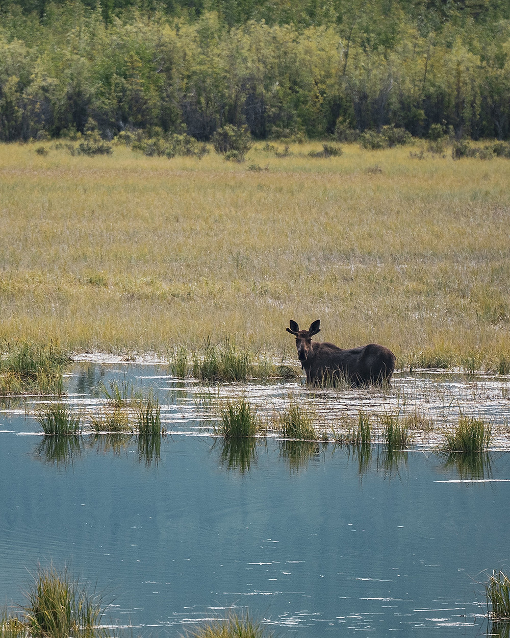 Moose hanging out in the marsh