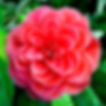 camelia-du-japon_edited_edited.jpg