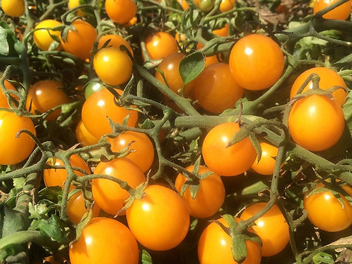 Gold Nugget Cherry Tomato Plant - pre-order of plant for April delivery