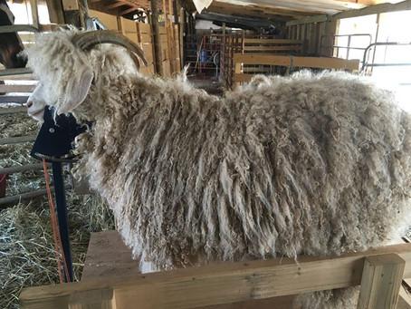 Spring Shearing Time