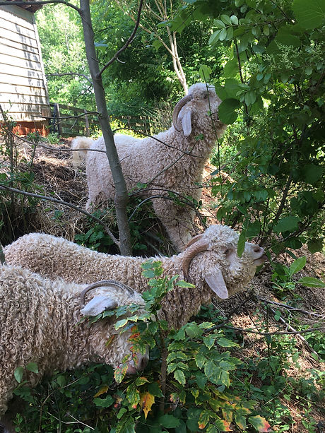 Three goats.JPG