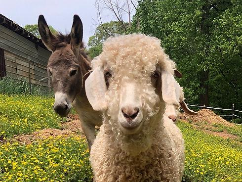 goat and donkey.jpg