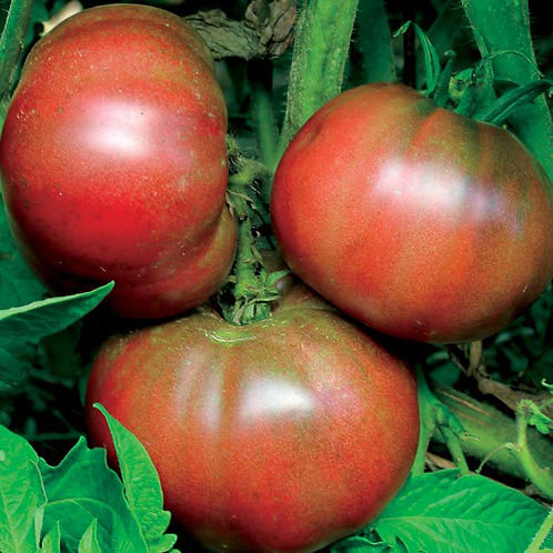 Black from Tula Tomato Plant - pre-order of plant for April delivery