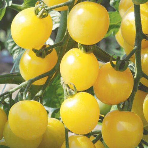White Cherry Tomato Plant - pre-order of plant for April delivery