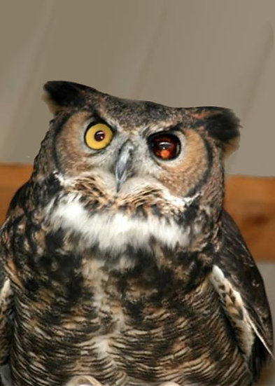 Boo (Great Horned Owl)