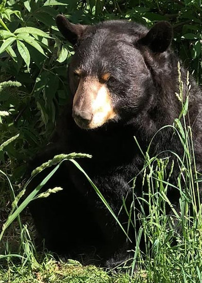 Knut (Black Bear)