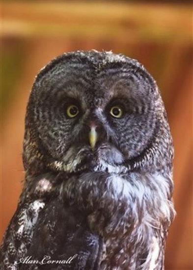 Farley (Great Gray Owl)