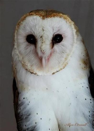 Bean (Barn Owl)