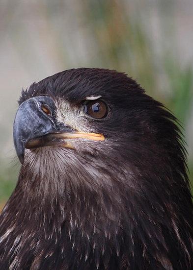 Casey (Bald Eagle)