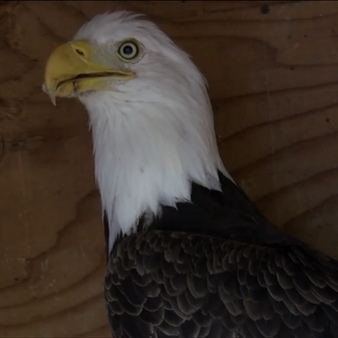 Eagle Spends Night In RCMP Detachment