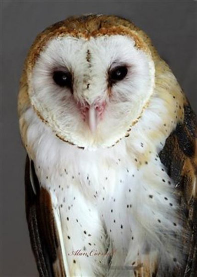 Jelly (Barn Owl)