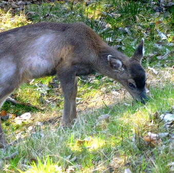 Deer Affected by Hair Loss Syndrome