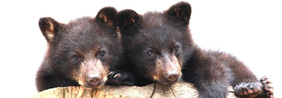 Baby_Bears.jpg