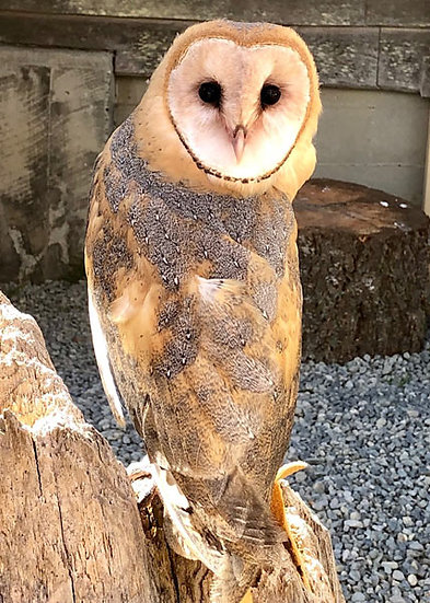 Joey (Barn Owl)