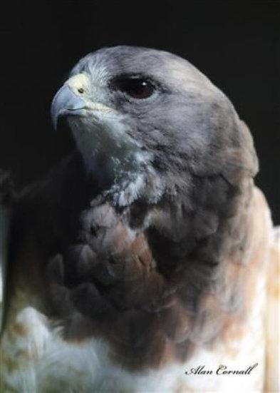 Elvis (Swainson's Hawk)
