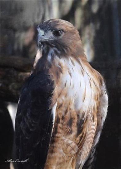 Glider (Red-Tailed Hawk)