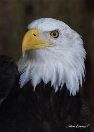Sandor (Bald Eagle)