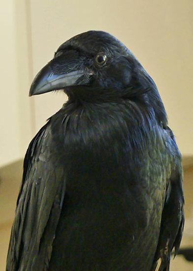 Dougal (Raven)