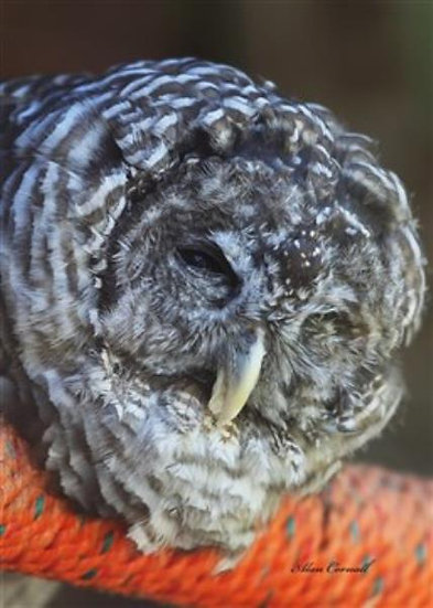 Oneye (Barred Owl)