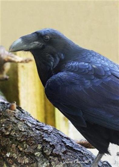 Ralph (Raven)
