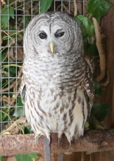 Quinn (Barred Owl)