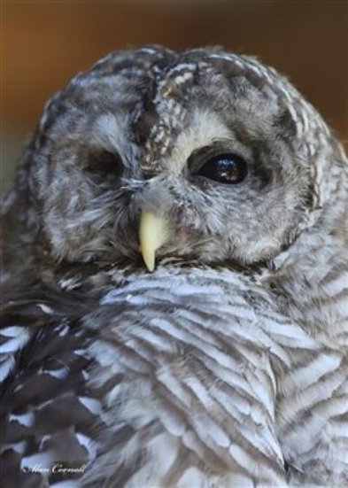 Eyegone (Barred Owl)