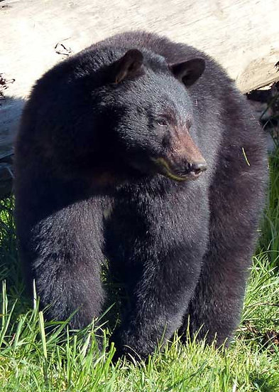 Rae (Black Bear)