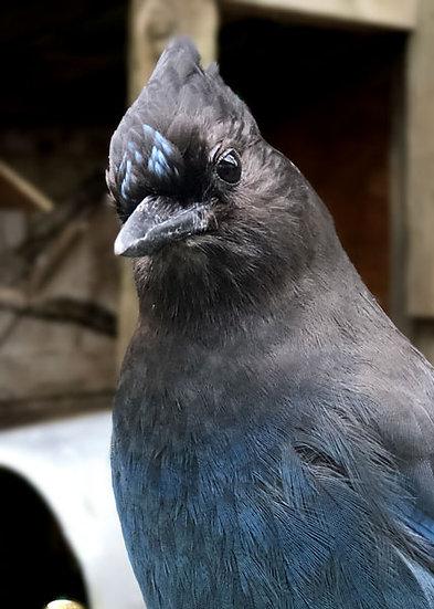 Nugget (Steller's Jay)