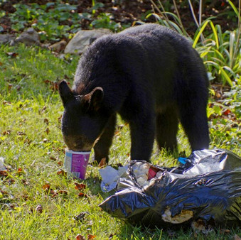 Bears are Hungry