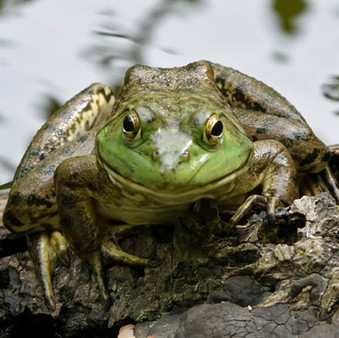 Alien Bullfrog