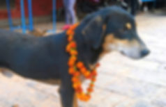 Dog with garland of flowers around it's neck in Patan, Kathmandu, Nepal